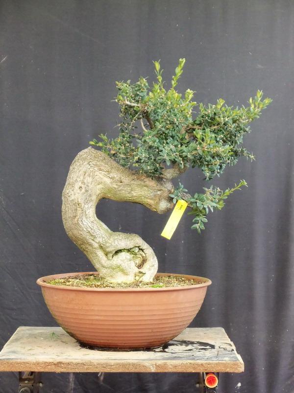Quasimodo il bosso bonsai club amici del verde for Bosso vaso